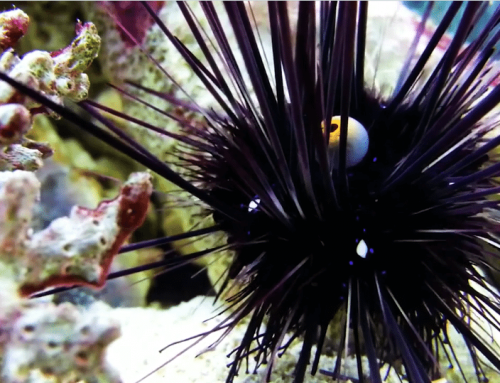 Rehabilitating Long-spined Sea Urchins