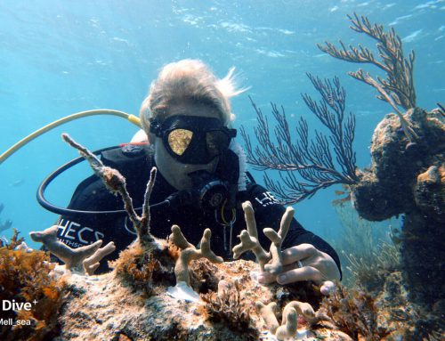 180 Coral Fragments Relocated To Their New Home On Cannonball Reef