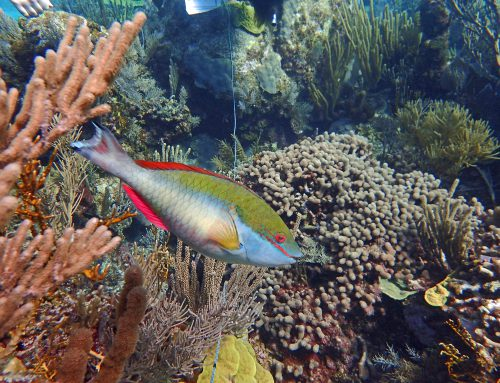 Parrotfish Projects at Perry Institute For Marine Science